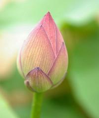 Nelumbo-flower-bud Indian Lotus